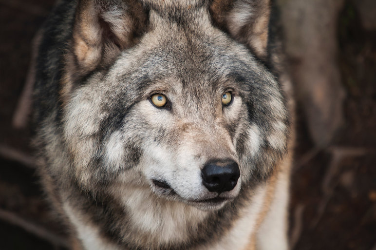 grey-and-white-wolf-selective-focus-phot