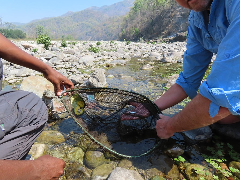 Juvenile mahseer utilising the backwater pools in the Kosi River