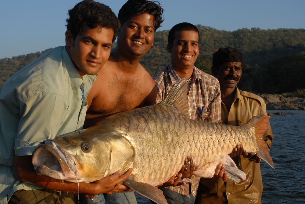 The enigmatic hump-backed mahseer of the Cauvery catchment; a legendary fish on the brink of extinction.