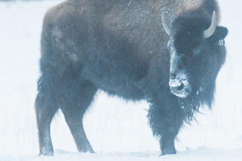 Bison snow-2.jpg