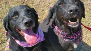 These sister Labs need a good home and the Erath County Humane Society needs these supplies.