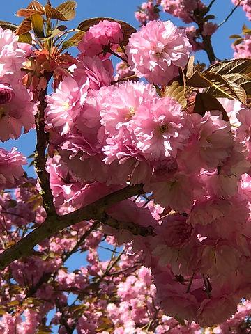 Cerisier Sceaux.jpeg
