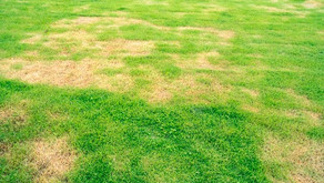Lawn Fungus Part 1. Causes