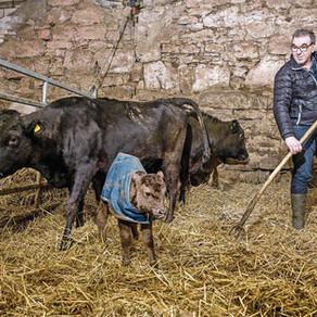 Bauern entdecken das Luxusrind