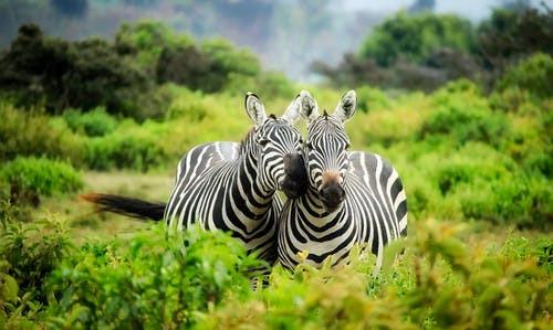 ZIMBABWE Zebres.jpg