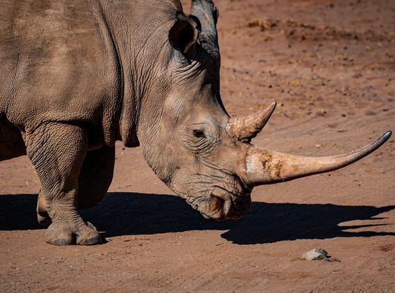 ZIMBABWE Rhino.jpeg