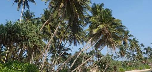 SRI LANKA plage cocotiers.webp