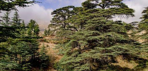 LIBAN Cedres.jpg