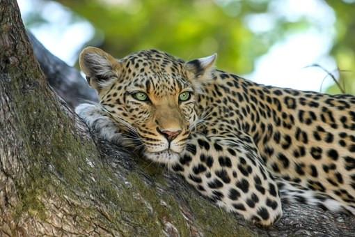 Namibie leopard.jpg