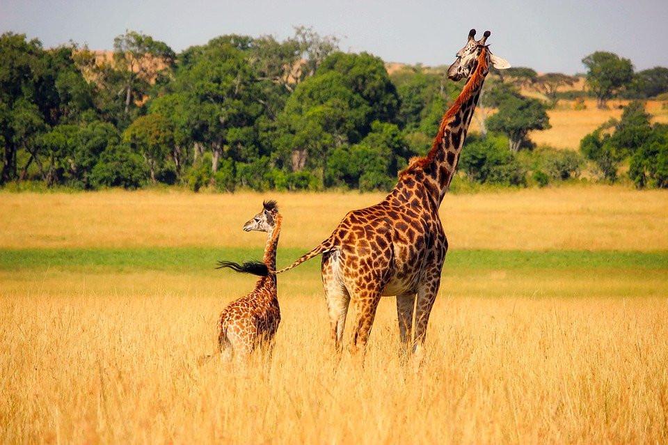 AFRIQUE DU SUD Girafe.jpg