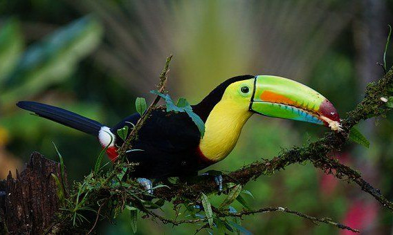 COSTA RICA  toucan.jpg