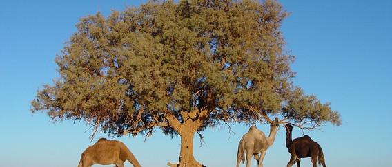 Maroc Arbre Chameaux.jpg