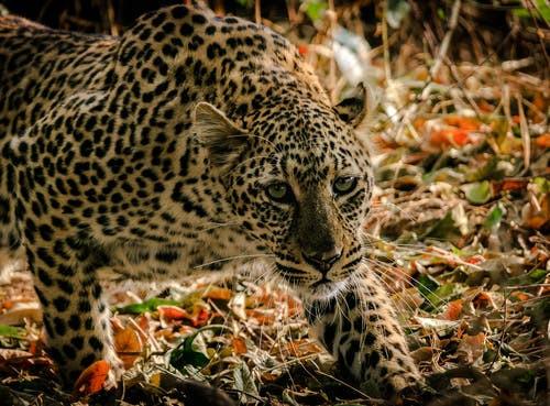 ZAMBIE Cheetah.jpg