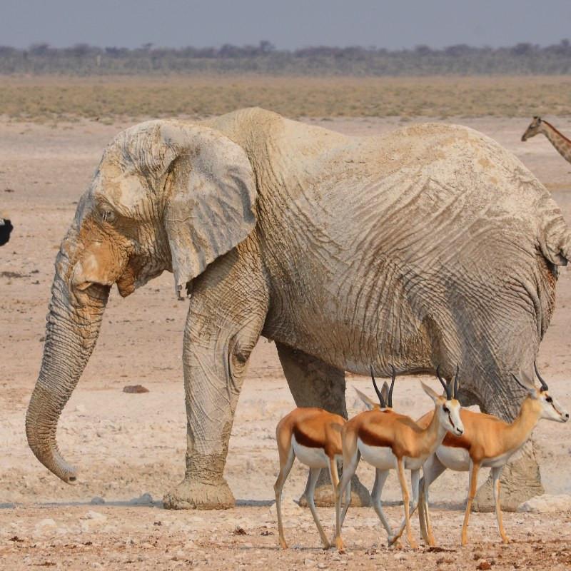 Namibie  Etosha.jpg