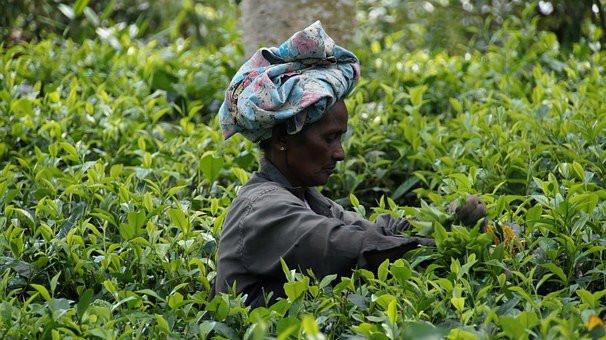 SRI LANKA Récolte du thé.jpg