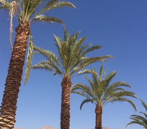 JORDANIE Palmiers Aqaba.jpg