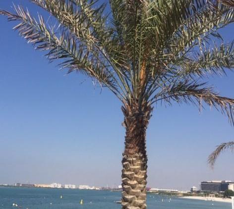 ABU DHABI palmier plage.jpg