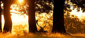 cerf-coucher-soleil.jpg