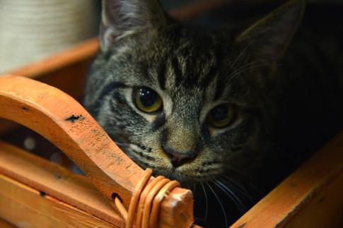 SPCA Cat