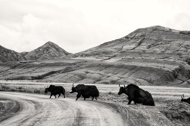 Yak Crossing, Tibet