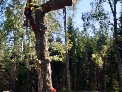 Puunkaatoa hautuumaalla