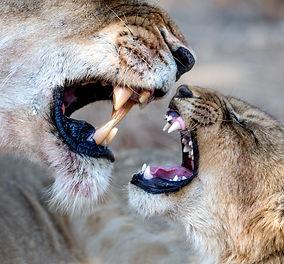 Lion-Ross-Couper-13.jpg