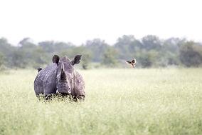 Singita-Pamushana-Wildlife-Rhino-3.jpg