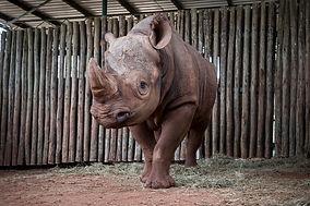 rhino_reloc_7.jpg