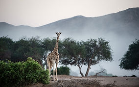 Giraffe-Hoanib-Peter-Beverly-Pickford-©