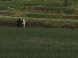 藺草植え継ぎ