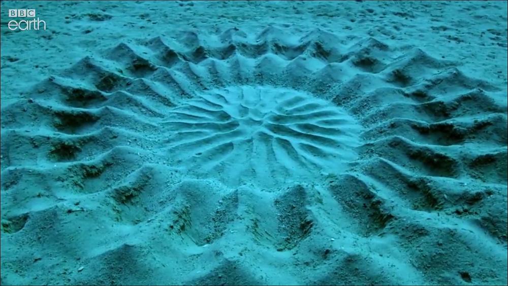 Japanese puffer fish's amazing creation - thank you BBC