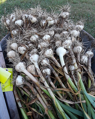 harvested garlic bulbs