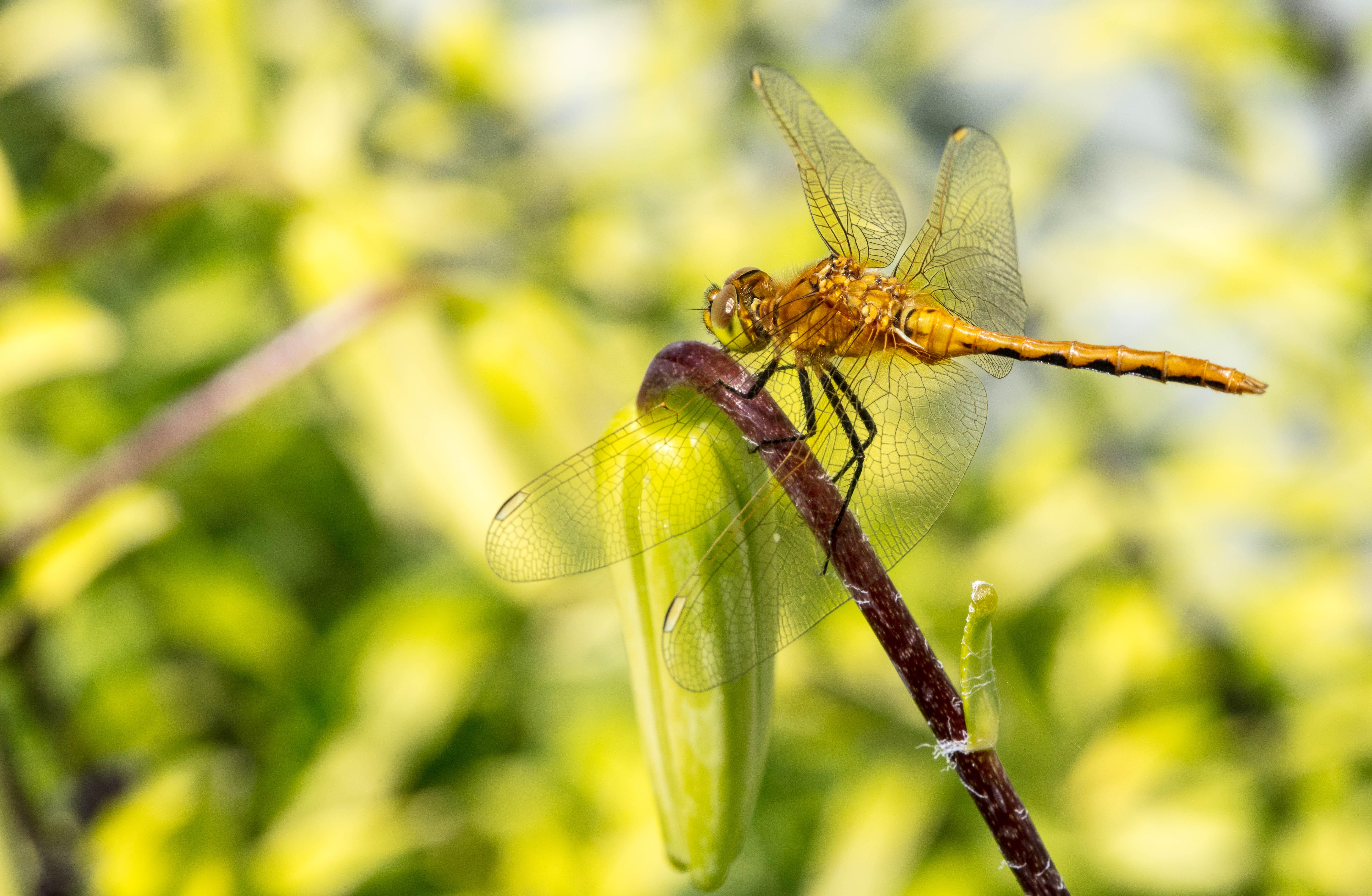 dragon flies-2Lilypads