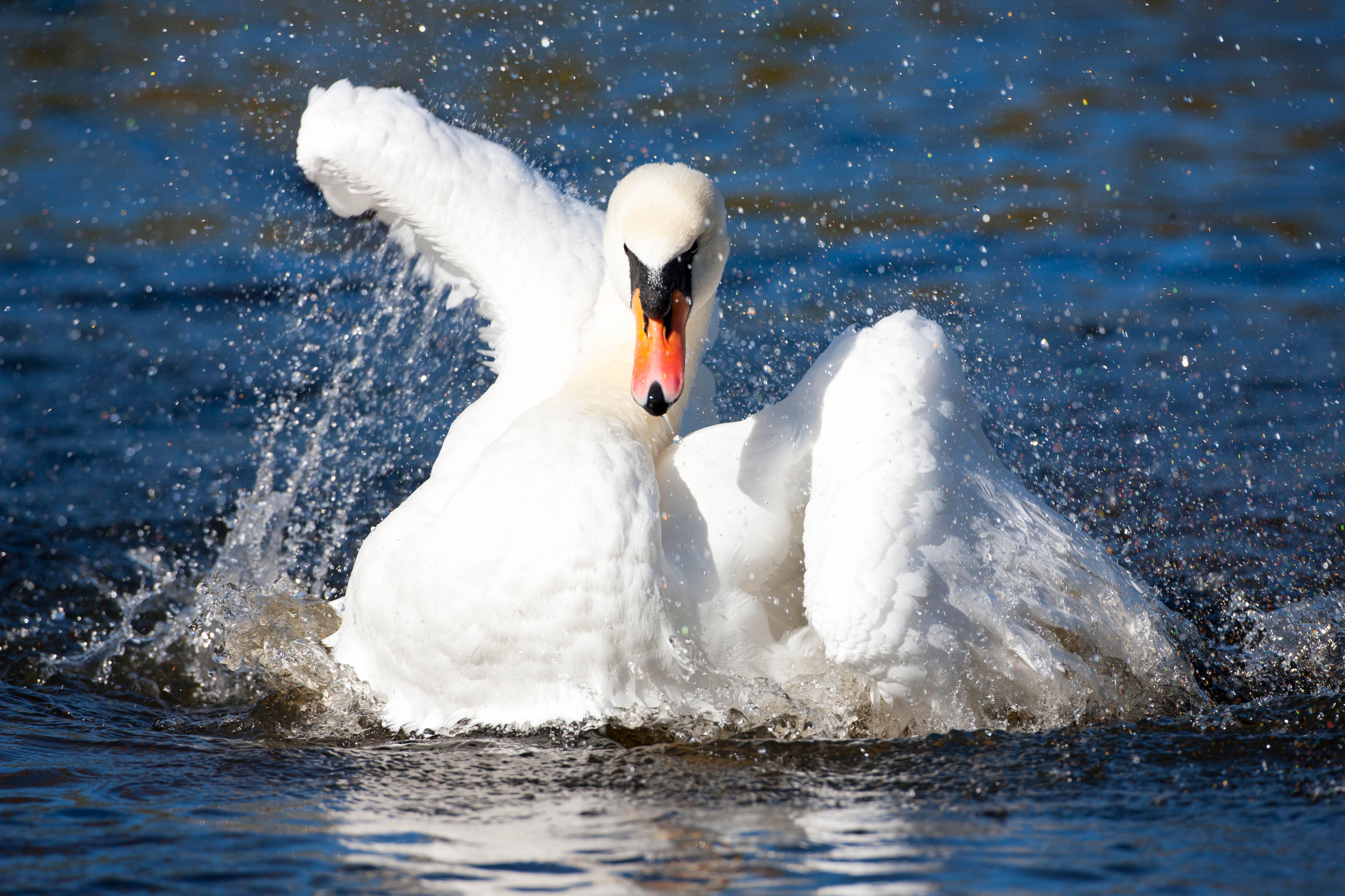 swan-1571Lilypads