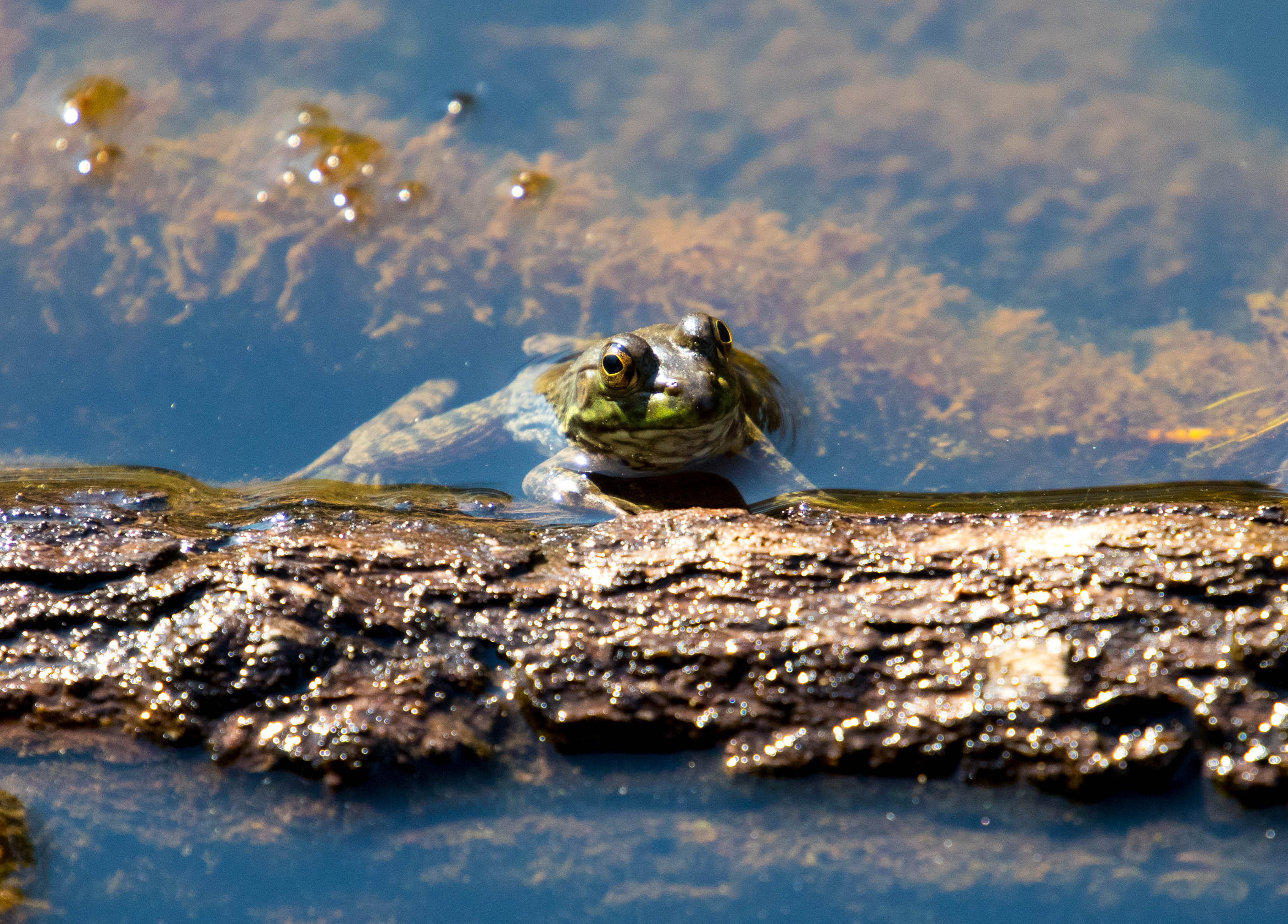 bullfrog log-7197Lilypads