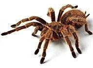 Tarantula-300x300.jpeg