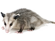 opossum-1024x679-600x397.png