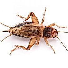 cricket-300x300.jpeg