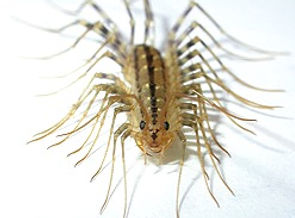 centipede1_edited.jpg