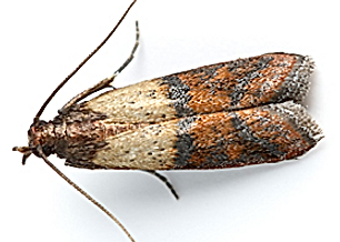 ter_insects_pantrymoth_facts_3a.png