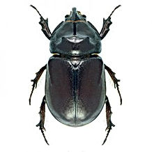 beetle-300x300.jpeg