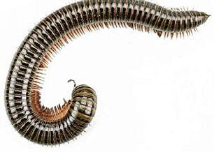 millipedes-300x300.jpeg