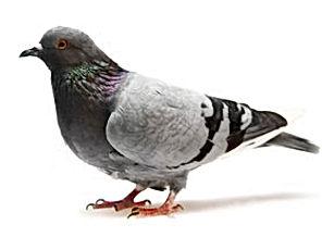 feral-pigeon.jpg