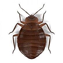 bed-bugs-300x300.jpeg
