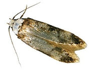 The-common-clothes-moth-008.jpg