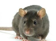 rats-300x300.jpeg
