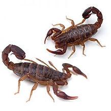 scorpion-300x300.jpeg