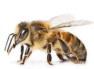 bees-300x300.jpeg
