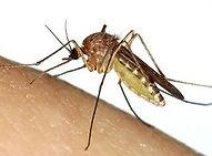 mosquito-300x300.jpeg
