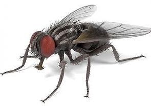 Flies-300x300.jpeg